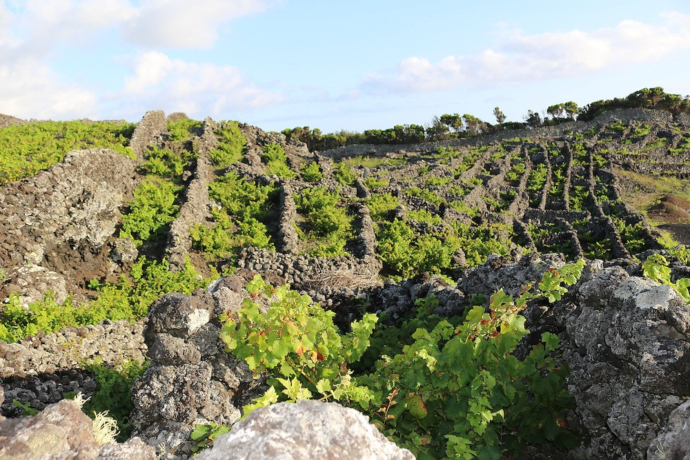 One of the many vineyards on Pico, which cover more than 2,000 acres on the island.