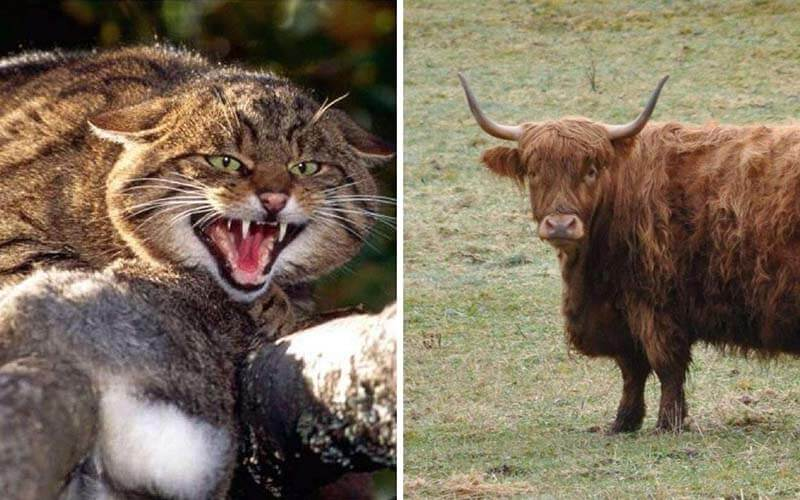 Scottish Highlands Guide |Scottish Wildcats and Highland Cattle