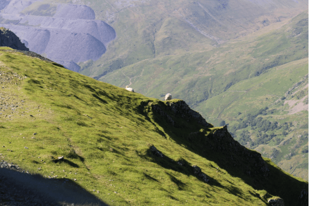 Sheep climbing the steep mountain side in Snowdonia National Park.